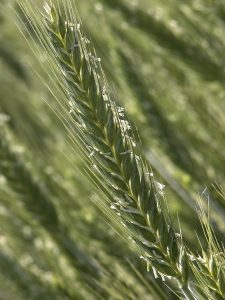Triticale - © INRA-Flickr
